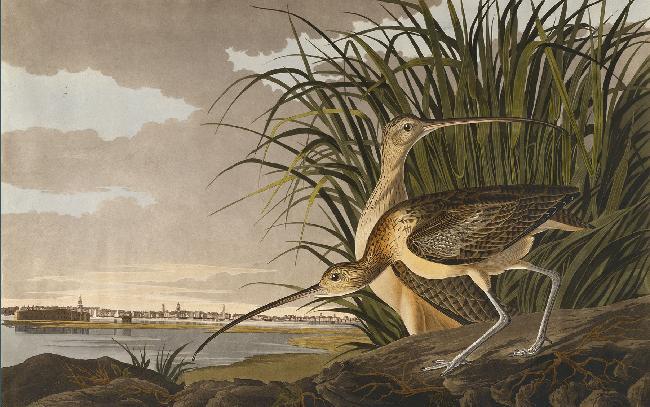 Long-billed Curlew, Numenius longirostris.