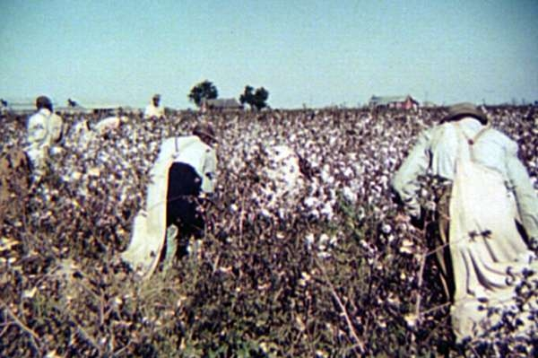Day Laborers Picking Cotton Near Clarksdale