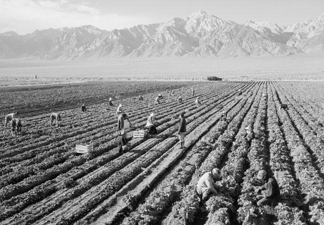 Farm, farm workers, Mt. Williamson in background, Manzanar Relocation Center, California.