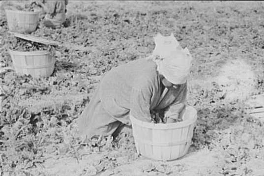 Mexican Woman Cuttng Spinach, La Pryor, Texas