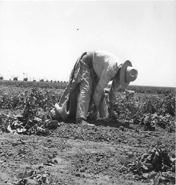 Migrant Agricultural Worker Picking Potatoes Near Shafter, California