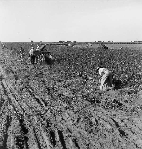 Thousands of Migrant Workers Are Employed For Harvesting the Potato Crop of Kern County, California